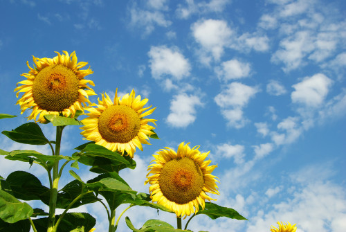 Slunečnice/ilustrační foto