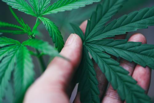Cannabis leaves marijuana plant in hand / Hemp leaf for extract